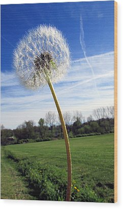Wishes Or Weeds Wood Print by Andrea Dale