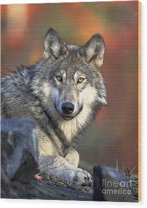 Wood Print featuring the photograph Wolf Predator Canidae Canis Lupus Hunter by Paul Fearn