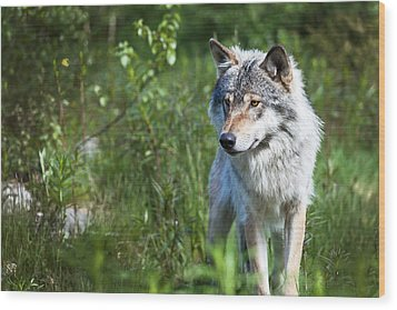Wood Print featuring the photograph Wolf by Yngve Alexandersson