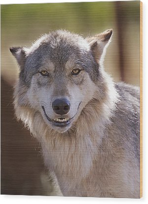 Wood Print featuring the photograph Wolf's Smile  by Brian Cross