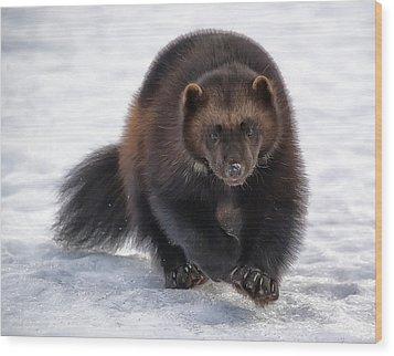 Wolverine On Snow #2 Wood Print