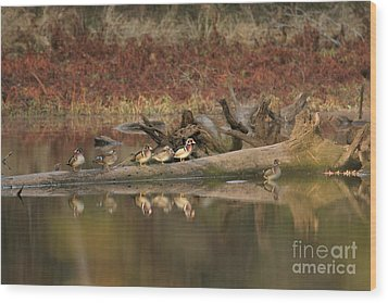 Wood Ducks On Log Wood Print by Russell Christie