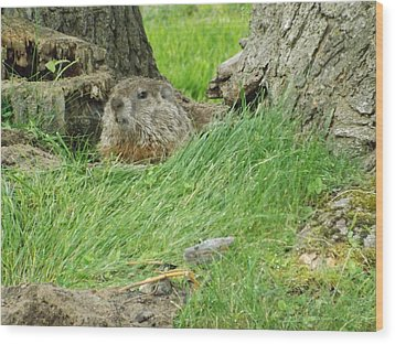 Woodchuck 2 Wood Print