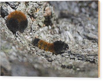 Woolly Bear Caterpillar Wood Print by Christina Rollo