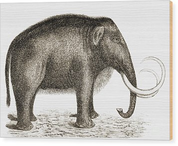 Woolly Mammoth Wood Print by British Library