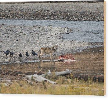 World Famous Yellowstone Gray Wolf 06' Wood Print
