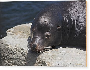 Wounded Sea Lion Resting Wood Print by Susan Wiedmann