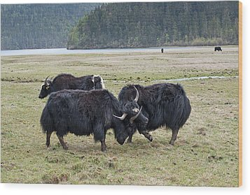 Yaks Fighting In Potatso National Park Wood Print