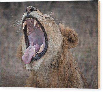 Yawning Lion Wood Print by Craig Brown