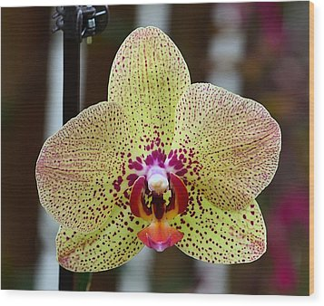 Yellow And Maroon Orchid Wood Print by Kathy Eickenberg