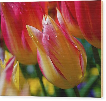 Yellow And Pink Tulips Wood Print by Rona Black