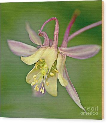 Yellow Aquilegia Bloom Wood Print by Heiko Koehrer-Wagner