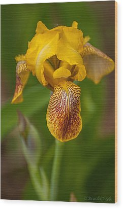 Yellow Bearded Iris Wood Print by Brenda Jacobs