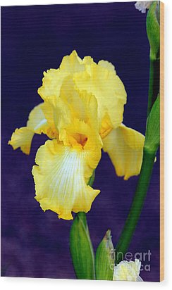 Yellow Bearded Iris Wood Print by Kathy  White