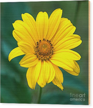 Yellow Beauty Wood Print by Alana Ranney