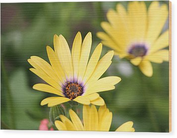 Yellow Beauty Wood Print by Sue Chisholm