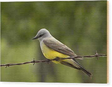 Yellow-bellied Fence-sitter Wood Print