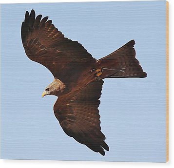 Yellow Billed Kite In Flight Wood Print by Paulette Thomas