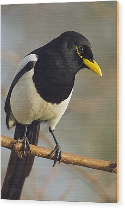 Yellow-billed Magpie Wood Print by Doug Herr