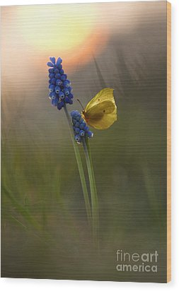 Yellow Butterfly On Grape Hyacinths Wood Print
