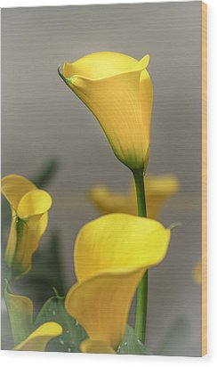 Yellow Calla Lilies Wood Print by Menachem Ganon