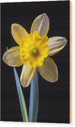 Yellow Daffodil Wood Print by Garry Gay