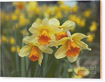 Yellow Daffodils Wood Print by Peter French