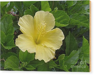 Yellow Dahlia Wood Print by Paul Clinkunbroomer