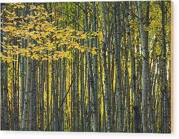 Yellow Fall Birch Leaves Against An Wood Print by Joel Koop
