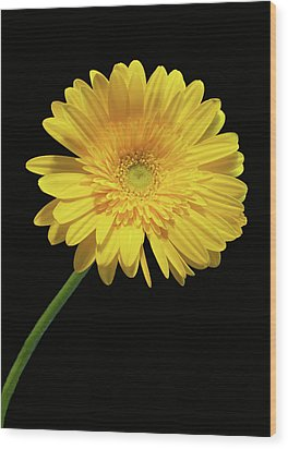Yellow Gerber Daisy Wood Print by Joan Powell