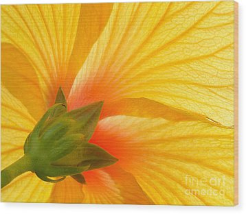Yellow Hibiscus Backlit Macro Wood Print