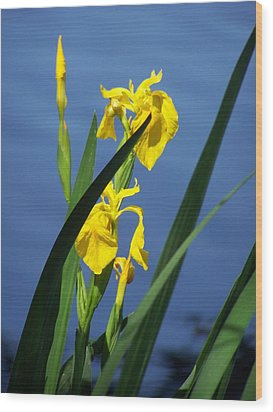 Yellow Irises Wood Print by Noreen HaCohen