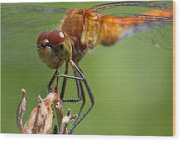 Yellow-legged Meadowhawk Dragonfly Wood Print by Juergen Roth