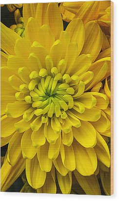 Yellow Mum Wood Print by Garry Gay