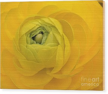 Yellow Ranunculus  Wood Print