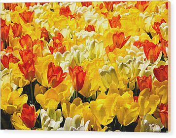 Yellow Red And White Tulips Wood Print by Menachem Ganon