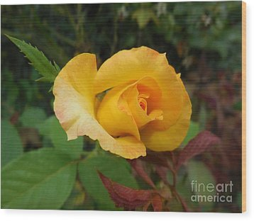 Yellow Rose Of Texas Wood Print by Eloise Schneider