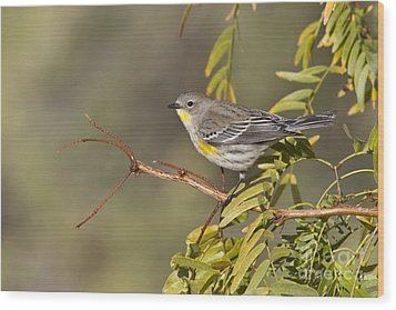 Yellow Rumped Warbler Wood Print by Bryan Keil