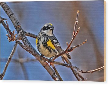 Yellow-rumped Warbler Wood Print by Larry Trupp