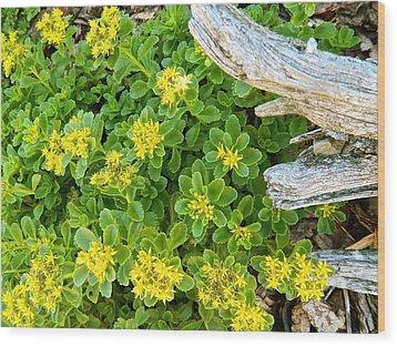 Yellow Sedum Ala Drift Wood Print by Randy Rosenberger
