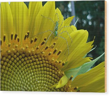 Yellow Sunflower With Green Spider Wood Print by MM Anderson
