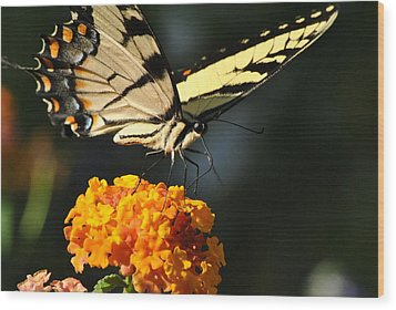 Wood Print featuring the photograph Yellow Swallowtail by Kelly Nowak