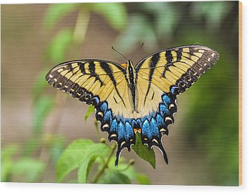 Yellow Tiger Swallowtail Wood Print by Debbie Green