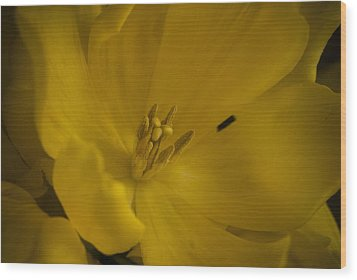 Yellow Tulip Wood Print by Cindy Rubin