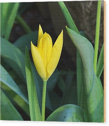 Wood Print featuring the photograph Yellow Tulip by Mary Zeman