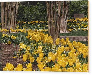 Yellow Tulip Pathway Wood Print