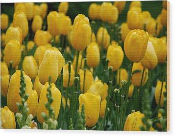 Yellow Tulip Sea Wood Print by Jennifer Ancker