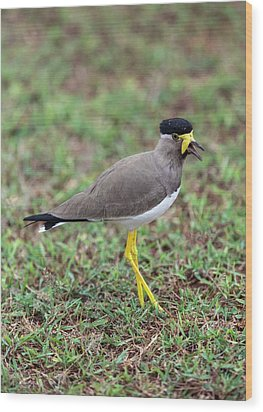 Yellow-wattled Lapwing Wood Print