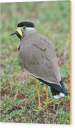 Yellow Wattled Lapwing Wood Print