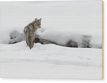 Yellowstone Coyote Wood Print